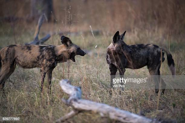 Two African wild dogs or hunting dogs near Camp Khwai River Lodge by Orient Express in Botswana within the Moremi Game Reserve Wild Botswana The wild...