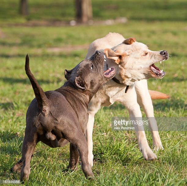 Due cani agressive: labrador retriever lotta con pitbull terrier