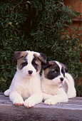 Two Akita Puppies