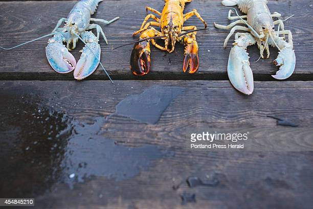 OWL'S HEAD ME SEPTEMBER 5 Two albino lobsters and an orange lobster in Owl's Head ME on Friday September 5 2014 Lobstermen Bret Philbrick and Joe...