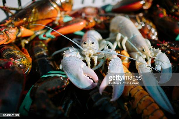 OWL'S HEAD ME SEPTEMBER 5 Two albino lobsters in Owl's Head ME on Friday September 5 2014 Lobstermen Bret Philbrick and Joe Bates caught two albino...