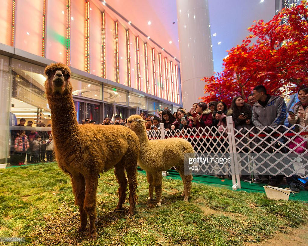 Two alpacas are seen in front of a shopping mall during a celebration of Christmas Eve on December 24, 2013 in Nanjing, China.