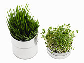 Two aluminum containers with wheat grass and sprouts
