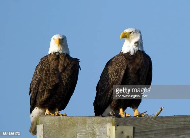 CAMBRIDGE MD MARCH Two American bald eagles are perched on a nesting stand at the Blackwater National Wildlife Refuge on March 13 2012 in Cambridge...