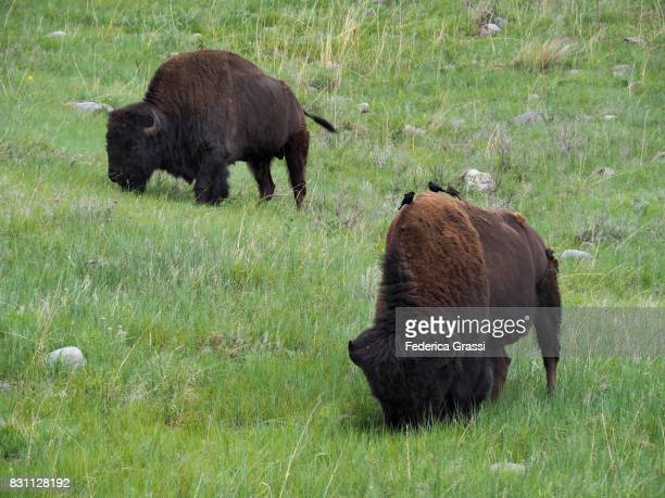 Two American Bison (Bison bison) Grazing at Badlands National Park, South Dakota