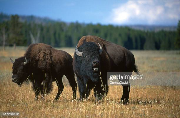 Two American Bison on the Grassy Plains of Wyoming