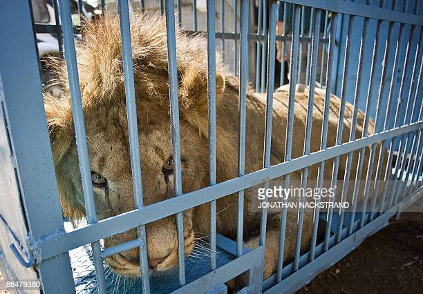 Two and a half yearold lion named Suragi sits in a cage as it is transported from the Safari Park in Ramat Gan to the zoo in the West Bank town of...