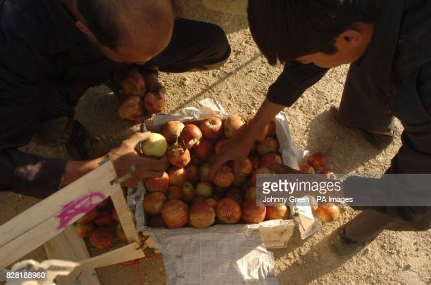 Two antinarcotics officers search through a crate of apples taken from a vehicle that has been stopped by Her Majesty's Royal Custom's trained Mobile...