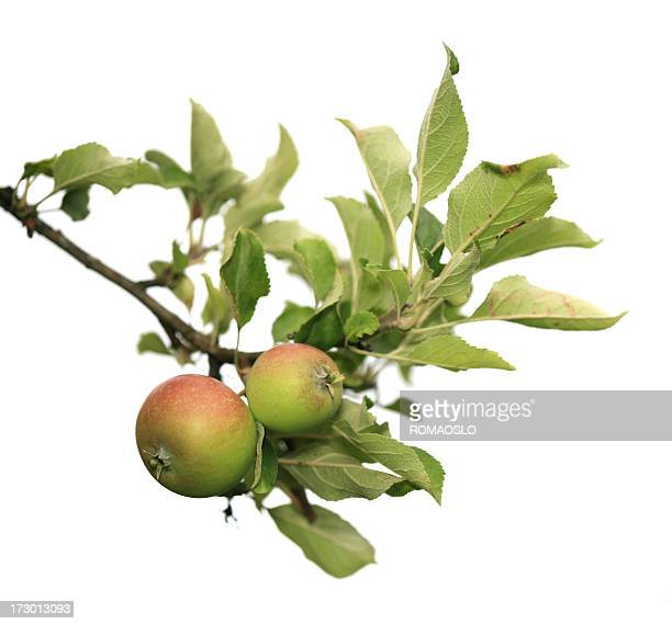 Two apples on a branch isolated