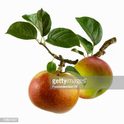 Two apples on branch
