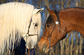 Two Arabian Horses Looking Facing Each Other