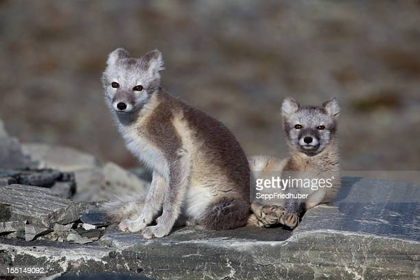Two Arctic foxes on a rock