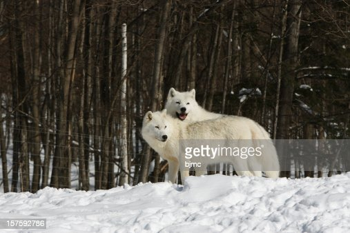 Two Arctic Wolves In Mating Season And Winter Stock Photo ...