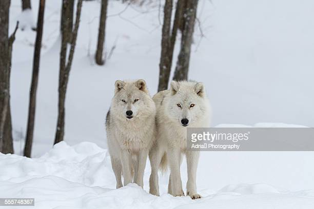 Two arctic wolves standing in the snow, Canada