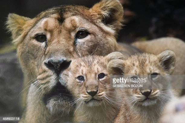 Two Asian lion cubs stand next to their mother Sita on November 13 at the zoo in Mulhouse eastern France Four Asian lion cubs were born in captivity...