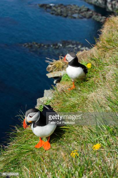 Two Atlantic puffins at bird cliff of Látrabjarg, westfjords, Iceland