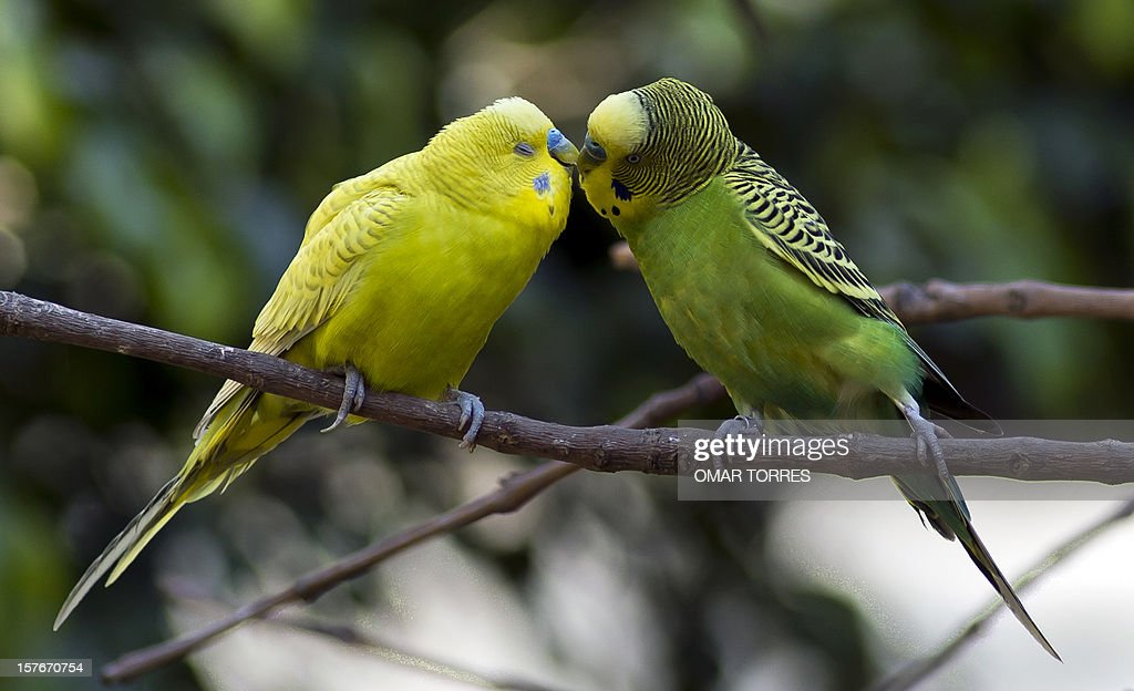 Two Australian Parrots (Alisterus Scapularis) remain on a branch at the Abraham Lincoln park in Mexico City on December 5, 2012.