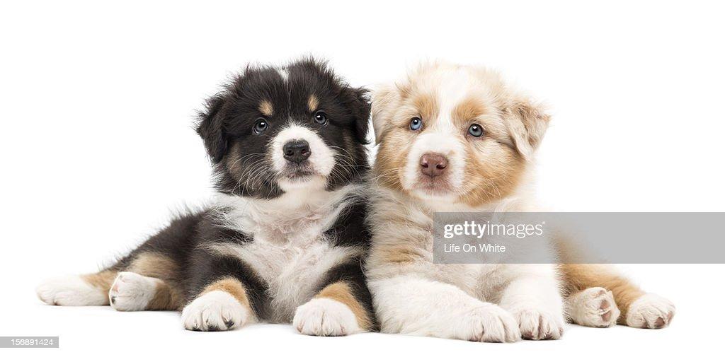 Two Australian Shepherd puppies lying : Stock Photo