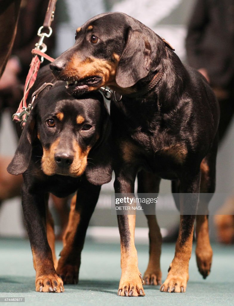 Two Austrian Brandl Bracke hunting dogs are pictured at the 'Hohe Jagd' hunting fair on February 23, 2014 in Salzburg, Austria.