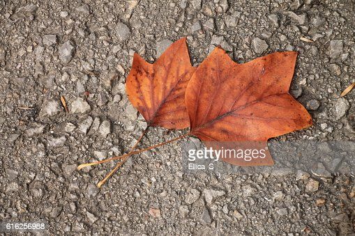 Two autumn maple leaves on the street : Foto de stock