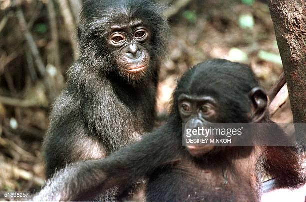 Two baby Bonobo chimpanzees 21 May 2000 at the Bonobo sanctuary in Kinshasa Due to deforestation and human crowding the Pan Paniscus as it is known...