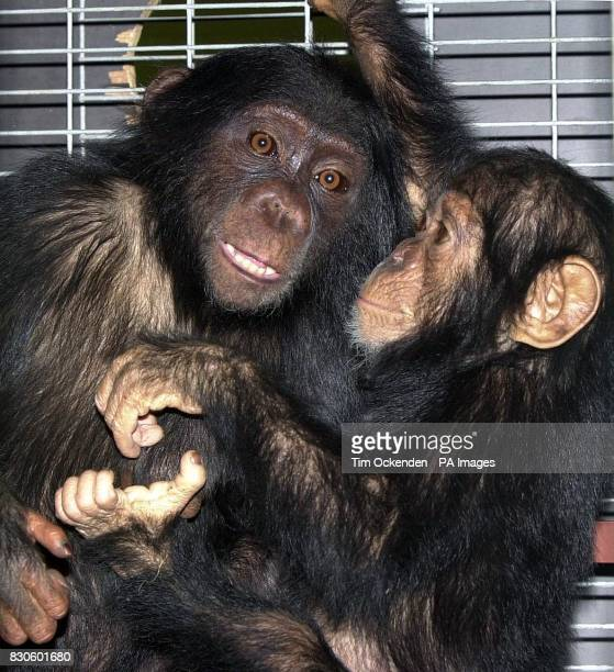 Two baby chimpanzees at London's Gatwick Airport before embarking on a 12hour flight from the airport to their new home in Africa after a failed...