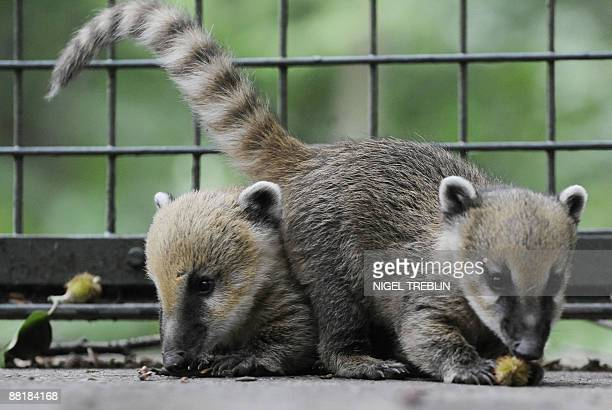 Two baby coatis play in their enclosure at the zoo in the northern German city of Hanover on June 3 2009 The young coatis also known as the hognosed...