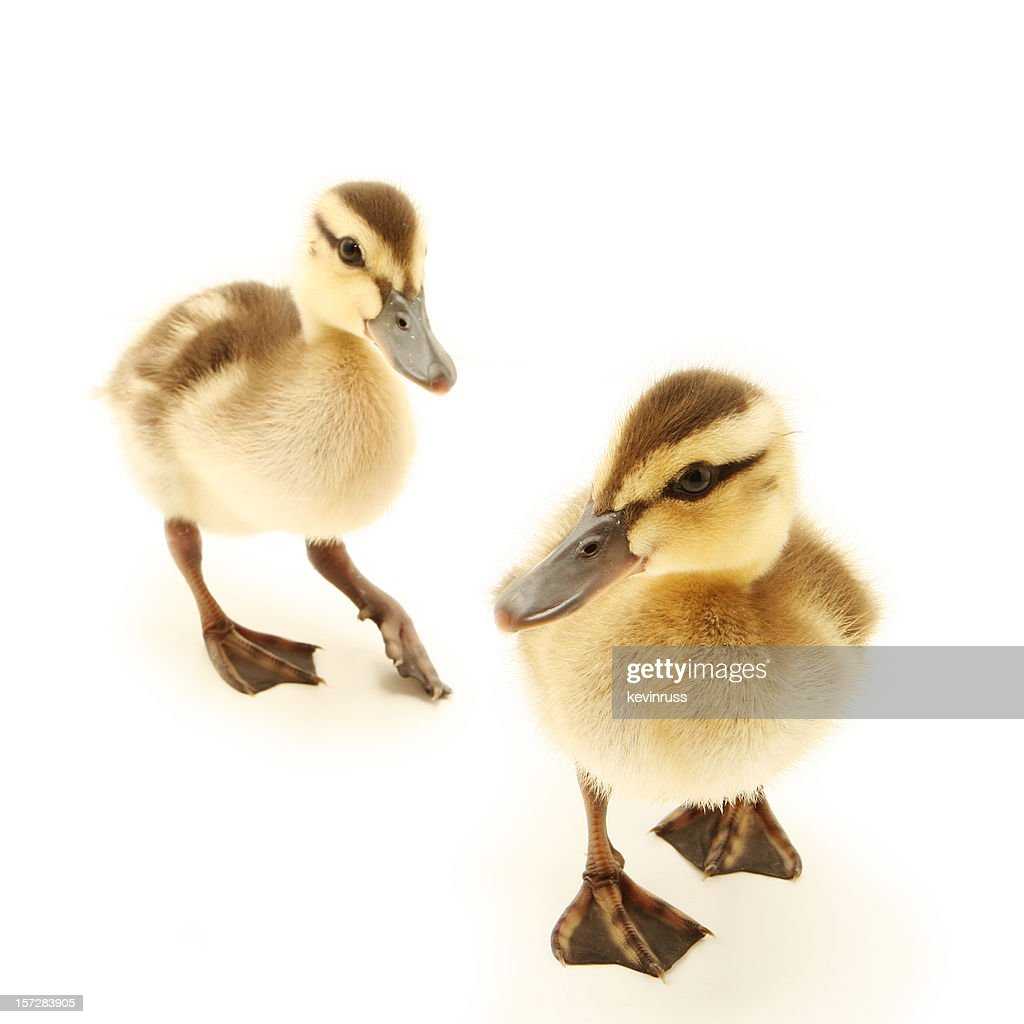 Two Baby Ducks