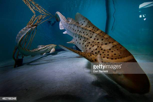 Two baby female zebra sharks that were conceived by artificial insemination swim in the nursery pool at the Aquarium of the Pacific in Long Beach CA...