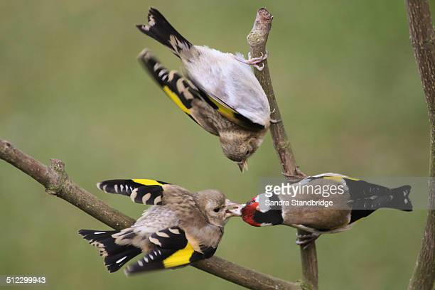 Two baby goldfinches being fed by a parent