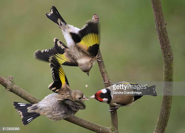 Two baby Goldfinches being fed by a parent.