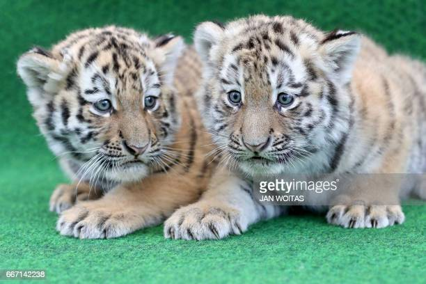 Two baby tigers are pictured before being vaccinated at the zoo in Leipzig eastern Germany on April 11 2017 The zoo actually is seeking for names for...
