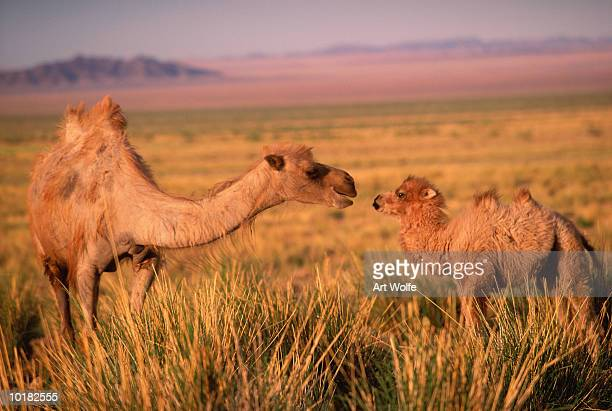 Two Bactrian Camel (Camelus bactrianus)