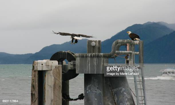 Two Bald Eagles in Alaska