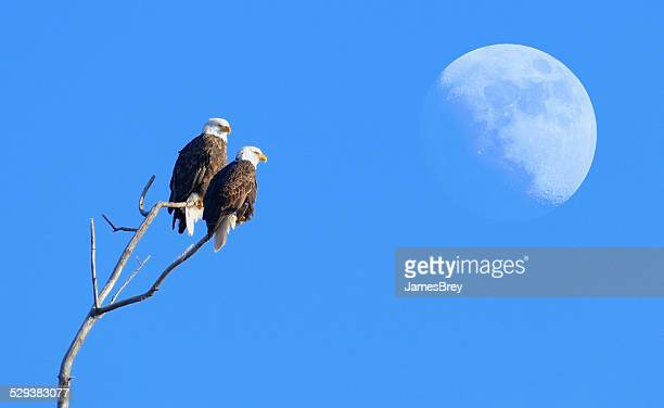Two Bald Eagles Perching Together with Moonrise