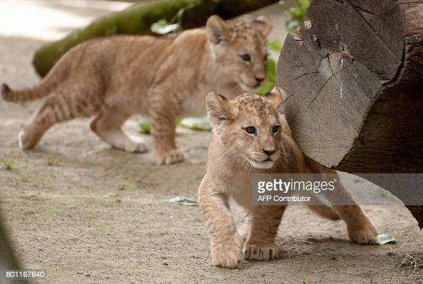 Two Barbary lion babies play on June 26 2017 in their enclosure at the zoo in Neuwied western Germany Five Barbary lion babies were born at the zoo...