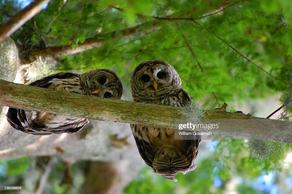 Two Barred owls look down towards