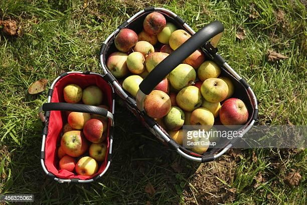 Two baskets of justpicked apples stand at a farm on September 28 2014 in Steinhoefel Germany September and October are apple harvesting season in...