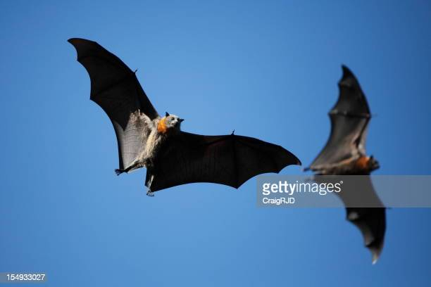 Two bats with wings outstretched flying in blue sky