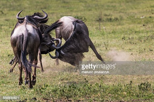 Two battling Wildebeests about to smash their heads against each : Stock Photo
