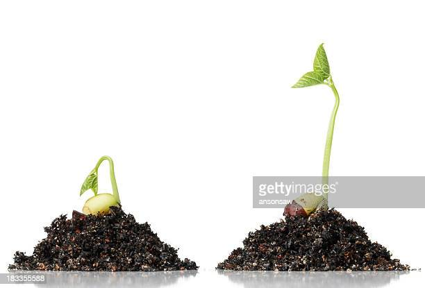Two beans at different stages of sprouting, atop dirt piles