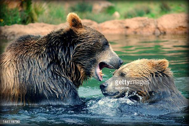 Two bears playing in water
