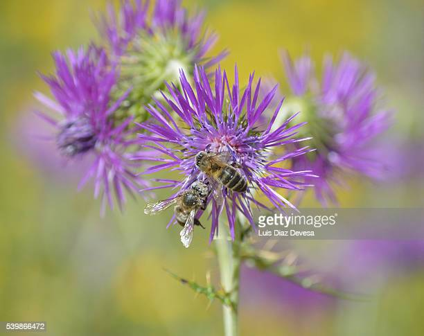 two Bee Pollinating On Monk Thistle (Galactites tomentosa) flower