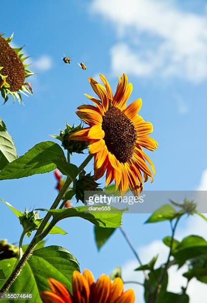 Two Bees Diving Onto A Sunflower