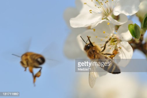 Two bees pollinating white flowers