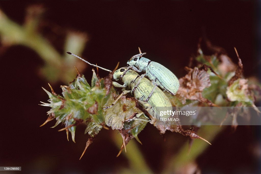 two beetles, one on top of the other on plant : Stock Photo