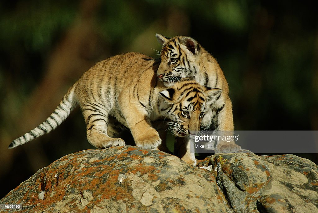 Two Bengal Tiger Cubs Playing Stock Photo | Getty Images