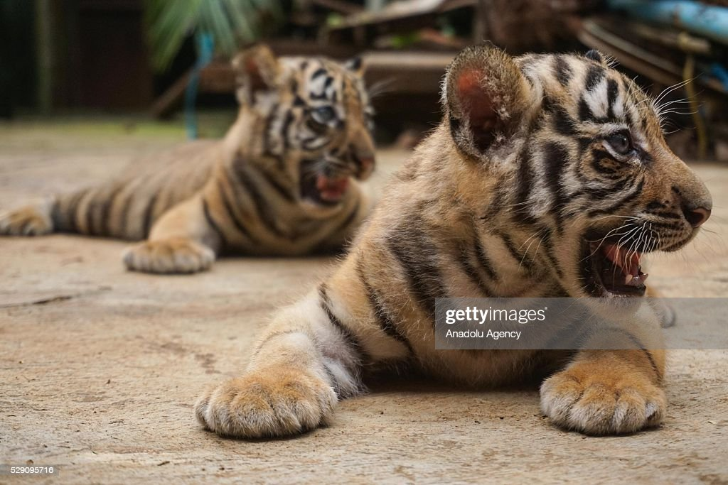 Two Bengal tiger cubs (Phantera Tigris), which were born 13 days ago, are seen at the Zoo Mangkang in Semarang, Java Central, Indonesia, on May 8, 2016. Two Bengal tiger cubs, named Triraksa and Trikasih, successfully born through normal delivery. Birth is also an effort to conserve rare and endangered animals, because of the presence of the endangered Bengal tiger.