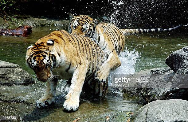 Two Bengal Tigers play in the water at Taipei City Zoo 16 July as temperature reached 367 degrees celcius The Bengal tiger exists in it's highest...