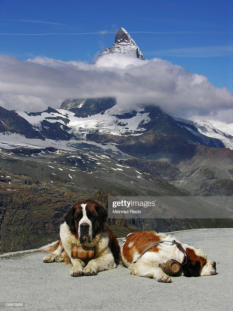 two bernhardine dogs on the Gornergrad near Zermatt. In the background the Matterhorn, Valais, Switzerland : Stock Photo